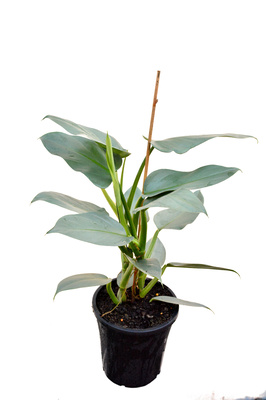 Philodendron hastatum (Silver Sword) - 180mm pot