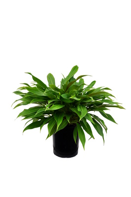 Philodendron 'Little Phil' - 180mm pot