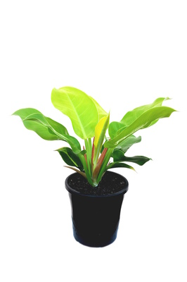 Philodendron 'Moonlight' - 180mm pot