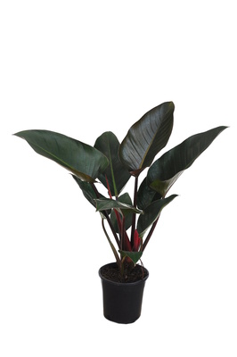 Philodendron 'Rojo Congo' - 180mm pot