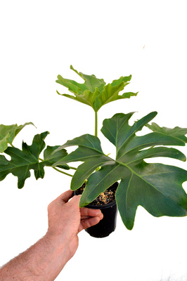 Philodendron selloum 'Roystonii' - 125mm pot