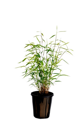 Pogonatherum paniceum (Panda Grass) - 125mm pot