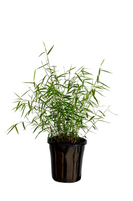 Pogonatherum paniceum (Panda Grass) - 180mm pot