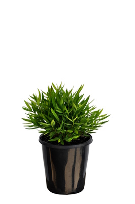 Pogonatherum paniceum (Baby Panda Grass) - 125mm pot