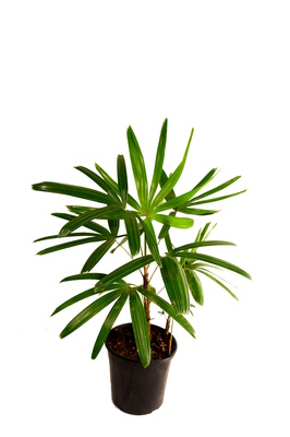 Rhapis excelsa (Rhapis or Lady Palm) - 200mm pot
