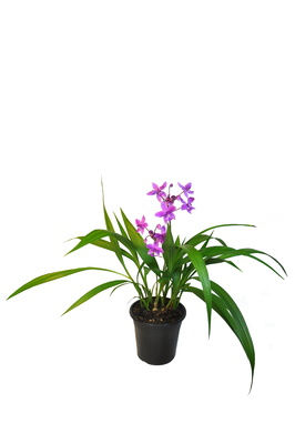 Spathoglottis plicata (Purple Ground Orchid) - 180mm pot