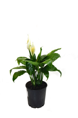Spathiphyllum wallisii (Peace Lily) - 125mm pot