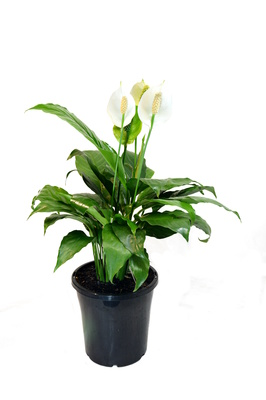 Spathiphyllum wallisii (Peace Lily) - 180mm pot
