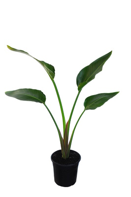 Strelitzia nicolai (Giant White Bird of Paradise) - 200mm pot