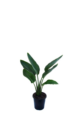 Strelitzia reginae (Bird of Paradise) - 125mm pot
