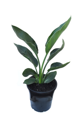 Strelitzia reginae (Bird of Paradise) - 200mm pot