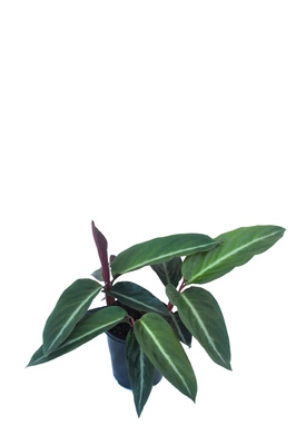 Stromanthe sanguinea - 125mm pot