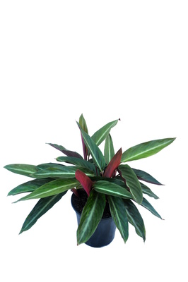 Stromanthe sanguinea - 180mm pot