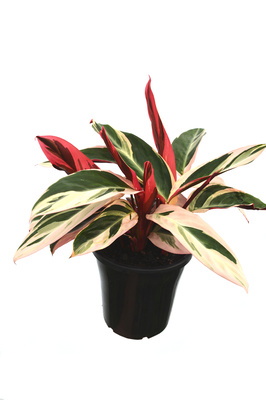Stromanthe sanguinea 'Tricolour' - 180mm pot