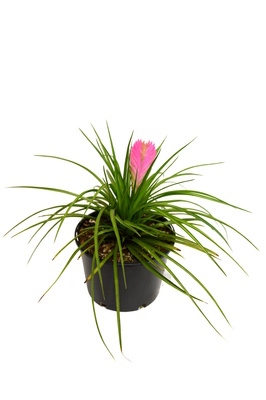 Tillandsia cyanea (Pink Quill) - 165mm pot