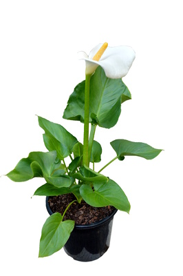 Zantedeschia aethiopica 'Santa' - 180mm pot