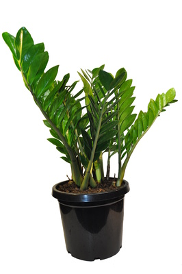 Zamioculcas zamiifolia (Zanzibar Gem) | Bamboo Land Nursery ... on pomegranate plant, philodendron plant, fairy duster plant, indoor rubber tree plant, money tree plant, topiary plant, croton plant, pot plant, jade plant,