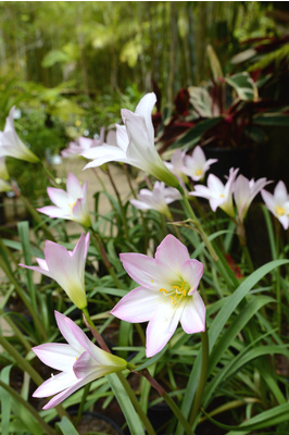 Zephyranthes robusta (Pink Rain Lily) - 125mm pot