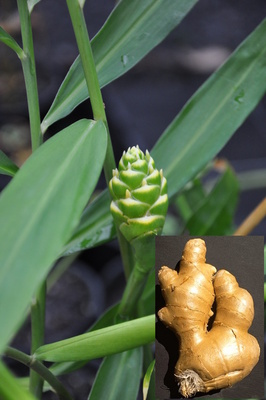 Zingiber officinale (Eating Ginger)