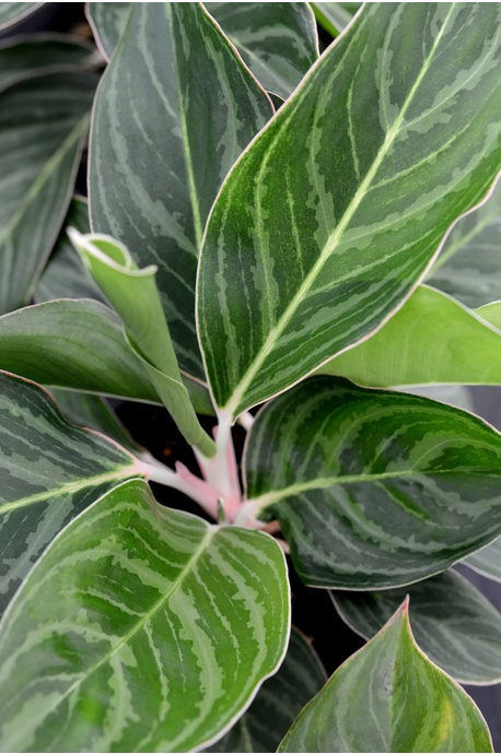 Aglaonema 'Total'