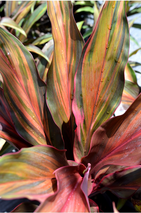 Cordyline fruticosa 'Waihee Rainbow' - 300mm pot