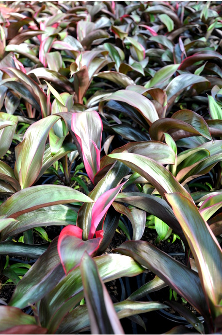 Cordyline 'Ruby' - 125mm pot