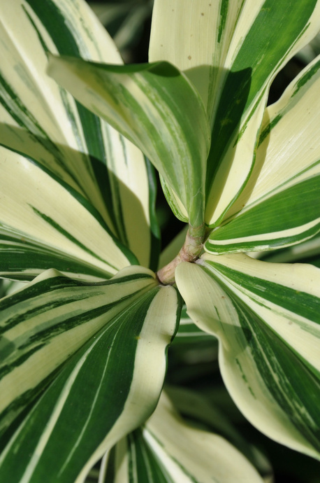 Costus arabicus 'Variegata' - 180mm pot