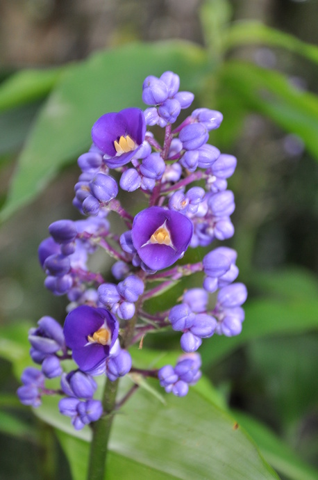 Dichorisandra thyrsiflora (Blue Ginger)