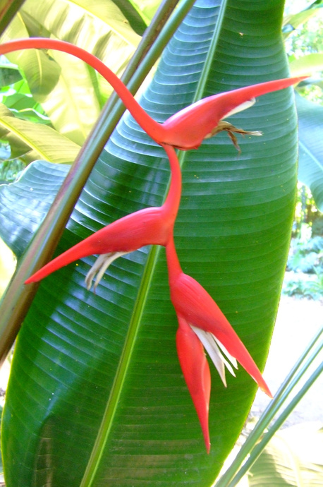 Heliconia pendula 'Bright Red'