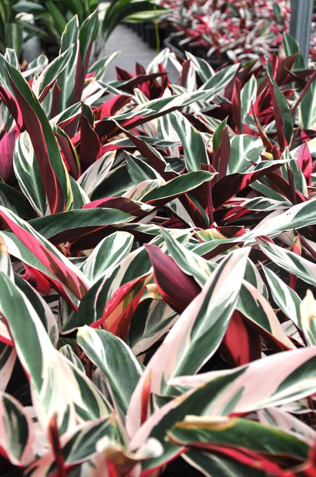 Stromanthe sanguinea 'Tricolour' - 125mm pot