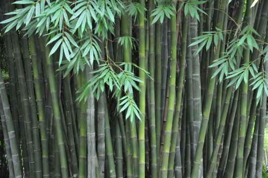 Planting and growing bamboo