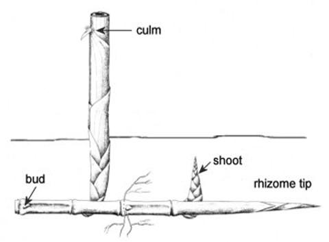 Monopodial running bamboo
