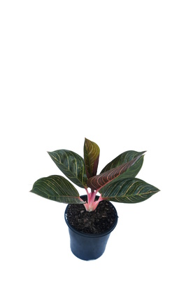 Aglaonema 'Kresna' - 125mm pot