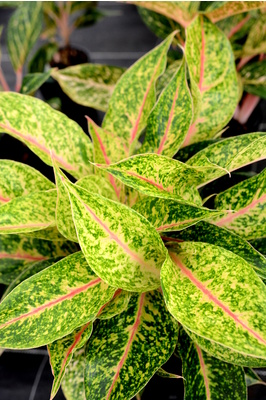 Aglaonema 'Nightsparkle'