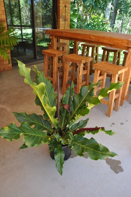 Anthurium plowmanii (Wave Of Love)