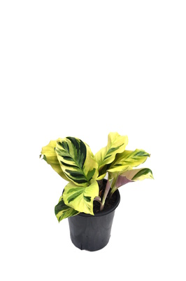 Calathea louisae 'Thai Beauty' - 125mm pot