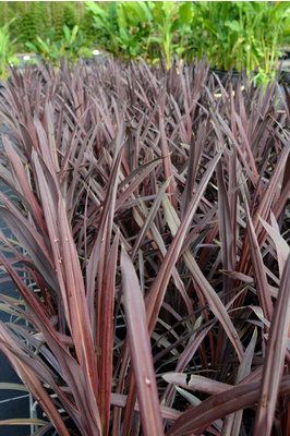 Cordyline australis 'Red Sensation' - 125mm pot