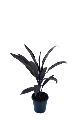 Cordyline fruticosa 'Caruba Black' - 125mm pot