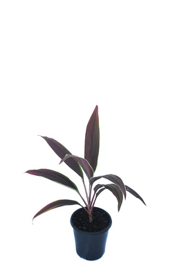 Cordyline fruticosa 'Tartan' - 125mm pot
