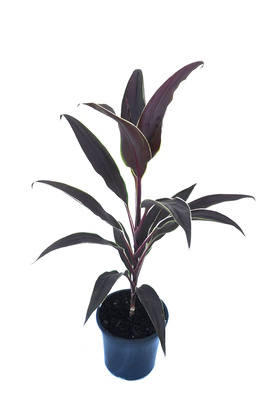 Cordyline fruticosa 'Tartan' - 180mm pot