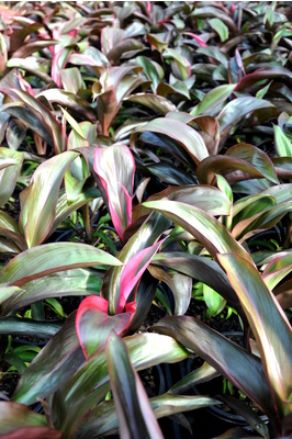 Cordyline 'Ruby'