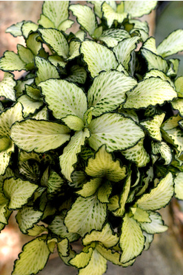 Fittonia 'Snow Anne'