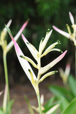 Heliconia psittacorum 'Pearl' - 180mm pot
