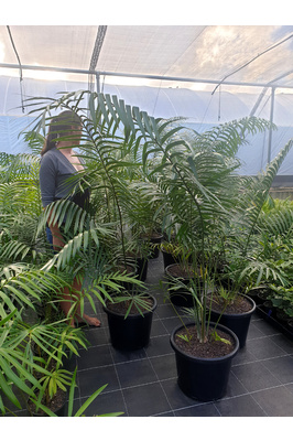 Lepidozamia hopei (Hope's Cycad) - 400mm pot