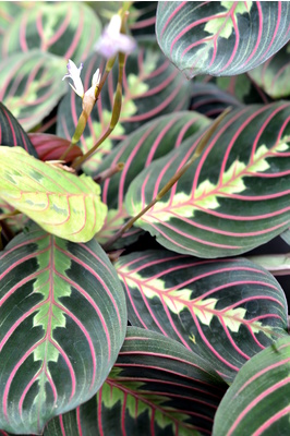 Maranta leuconeura var. erythroneura (Red Stripe Prayer Plant)