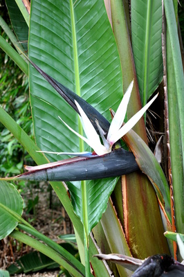 Strelitzia nicolai (Giant White Bird of Paradise) - 300mm pot