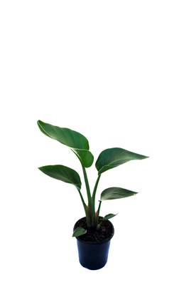 Strelitzia nicolai (Giant White Bird of Paradise) - 125mm pot