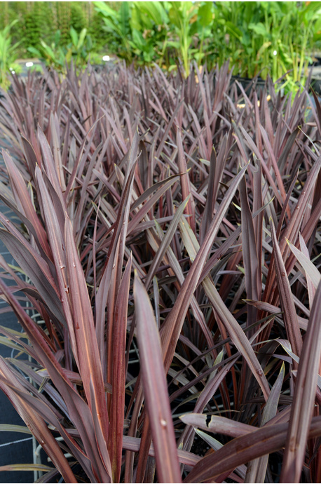 Cordyline australis 'Red Sensation' - 180mm pot