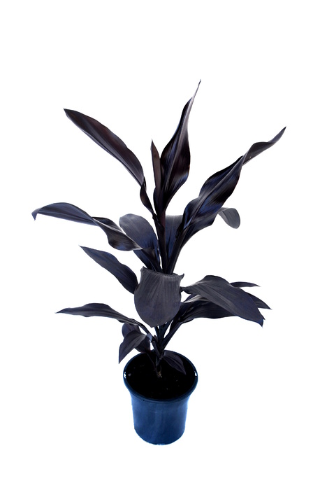 Cordyline fruticosa 'Caruba Black' - 300mm pot