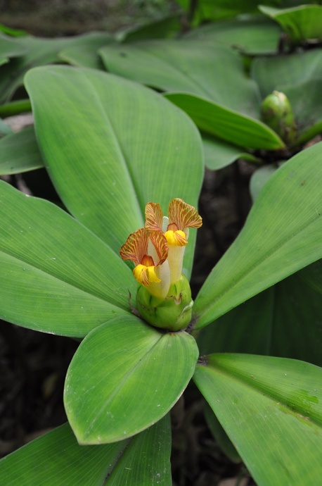 Costus malortieanus (Stepladder Ginger) - 180mm pot